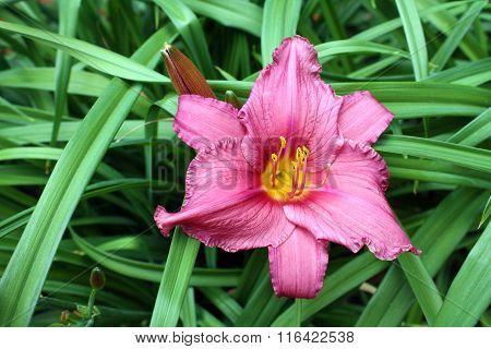 Pink daylily flower