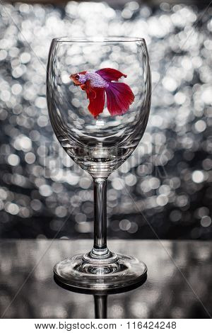 Siamese red fighting fish in wine glass
