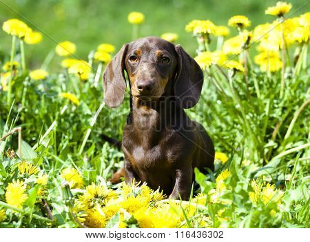 Dachshund rabbit and dandelion in a meadow
