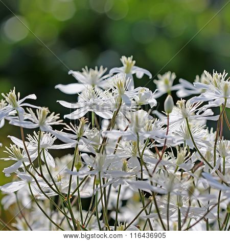 Garden vines Clematis (Clematis paniculata)