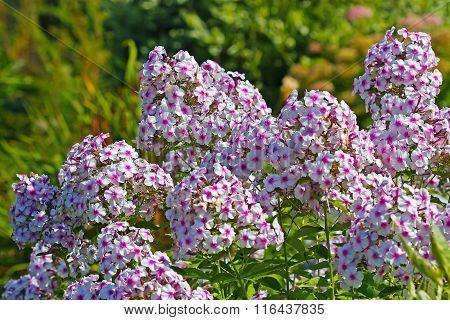 Decorative winter-hardy perennial flower variegatnoj Phlox (Phlox)