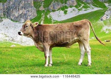 Cows in the mountain meadow.