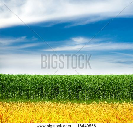 Corn and Wheat Field and blue sky