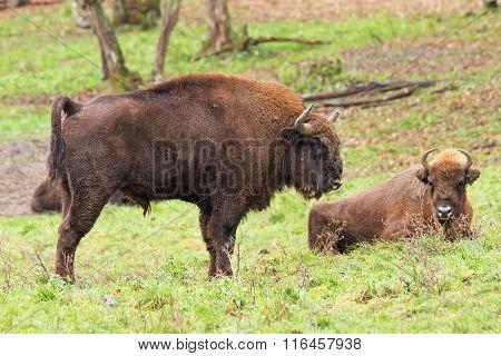 Big European Bison