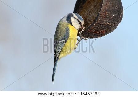 Blue Tit Hanging On Lard Feeder
