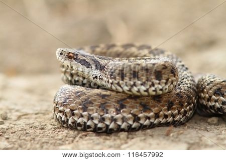 Close Up Of Female Meadow Viper