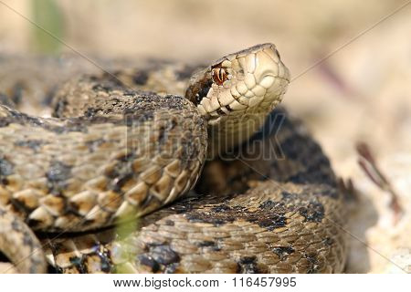 Close Up Of Meadow Viper