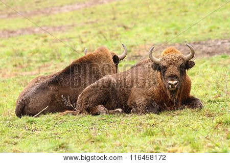 European Bisons On Green Lawn