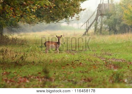 Fallow Deer Doe In The Forest