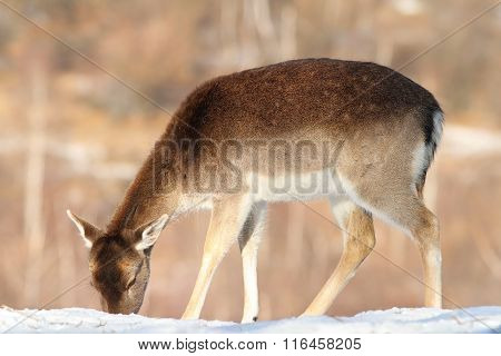 Fallow Deer Foraging For Food In Snow