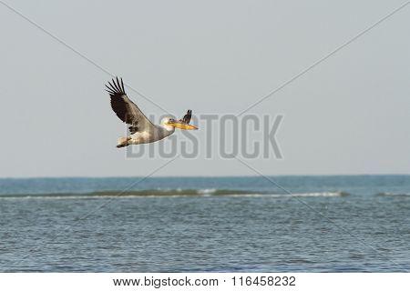 Great Pelican In Flight Over Sea