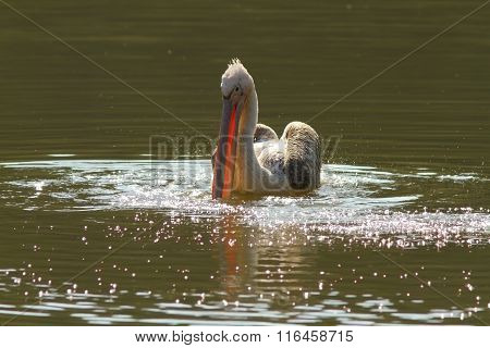 Juvenile Great Pelican On Pond