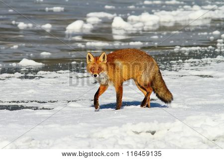 Red Fox On Frozen Water