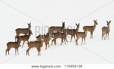 Roe Deer Herd Over White Snow
