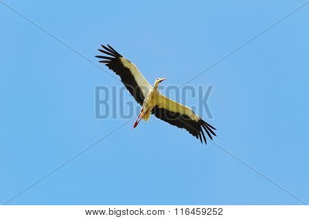 White Stork In Flight Over Blue Sky