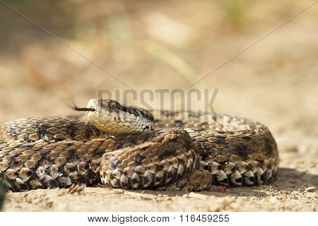 Vipera Ursinii On The Ground