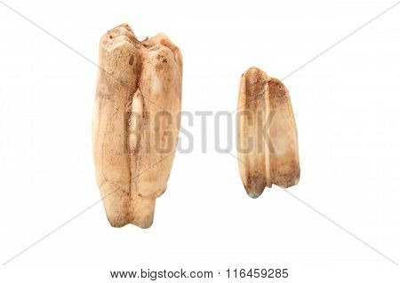 Wild Boar Molars Over White