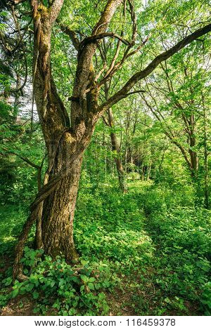 Summer deciduous forest tree wood