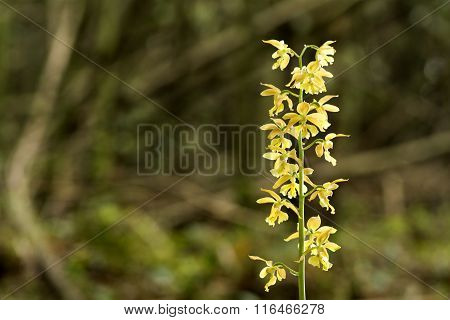 Wild calanthe discolor flower