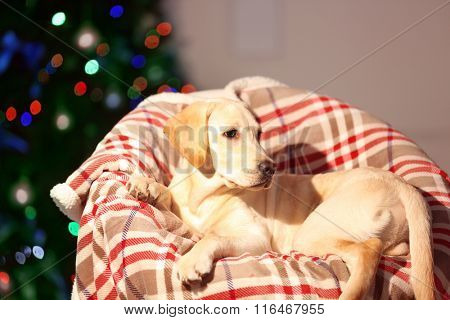 Beautiful Labrador retriever on chair in decorated Christmas room