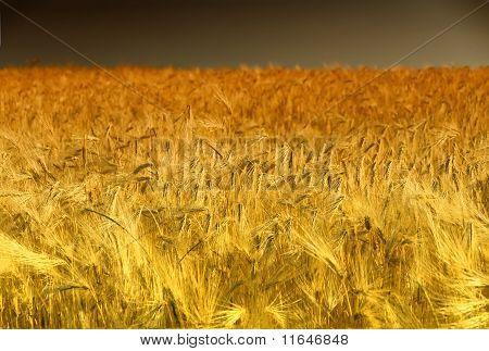 Golden Cornfield in Pfalz, Germany