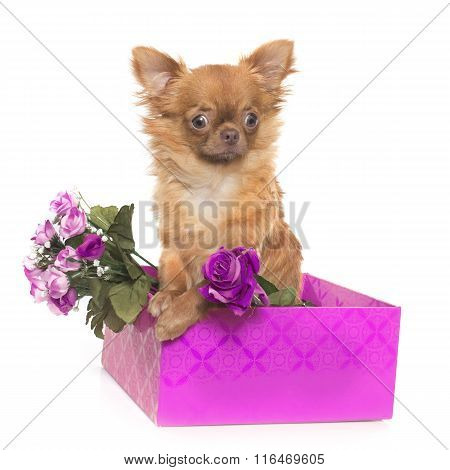 Brown Puppy Chihuahua
