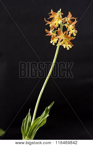 Yellow calanthe discolor flower