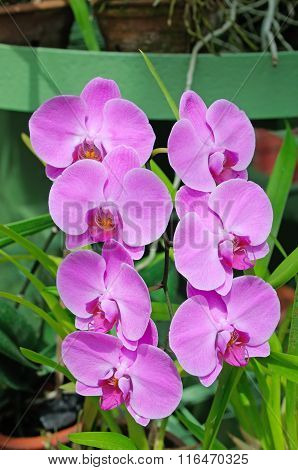 Closeup Of Beautiful Orchids Over Green Leafs