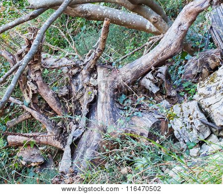 The Old Roots And Branches Of A Tree.