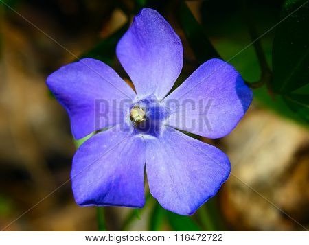 Blue Periwinkle Flower