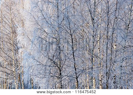 Winter Background Of Bushes And Trees In Birchwood