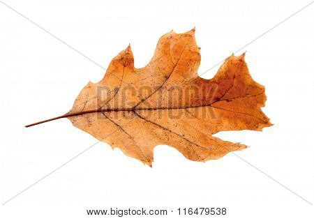 Dry leaf with pincers on white background