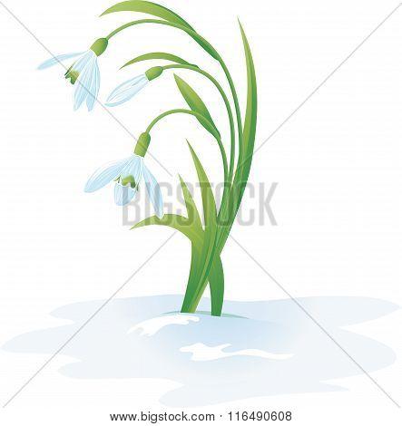 Illustration Of Some Blossom Snowdrops.