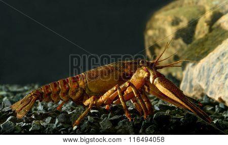 Eastern Crayfish, Orconectes Limosus