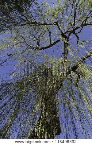 Weeping Willow On Blue Sky Backgroud