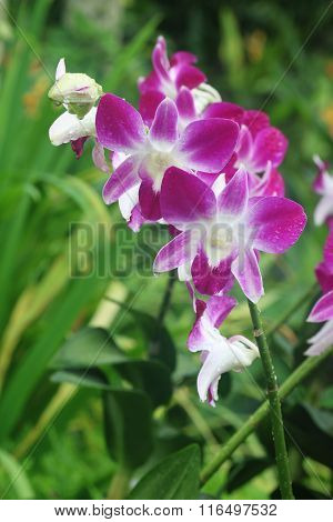 Dendrobium Eastern Vigor Orchid