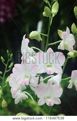 Dendrobium Peach Orchid