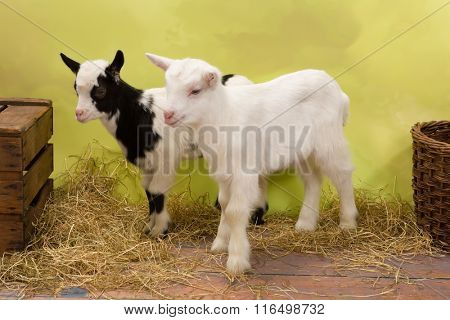 Ten days old little baby milk goats