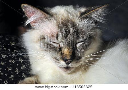 Himalayan Cat Sleep