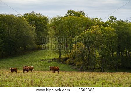 Texas Longhorn Cattle