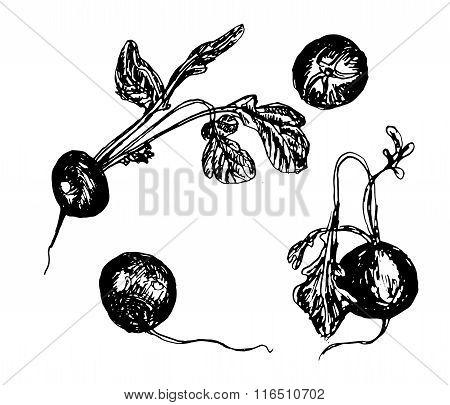 Juicy radish with green sketch hand-drawn vector illustration