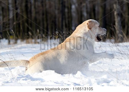 The Nice Yellow Labrador In Winter In Snow