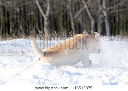 Nice Yellow Labrador In Winter In Snow