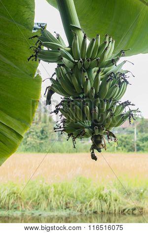 Closeup Banana On Tree With Leaf.