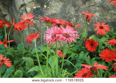 colorful Gerbera flower in garden