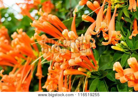 Orange Trumpet Or Flame Flower Or Fire-cracker Vine