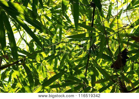 Green Bamboo Leaf Is Nature Abstract Background