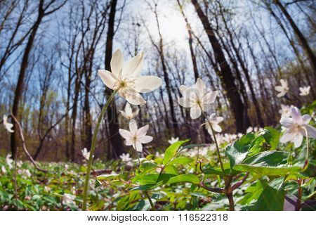 Anemone Flowers In Sunny Forest