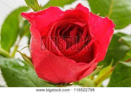 Red Roses With Dew Drops