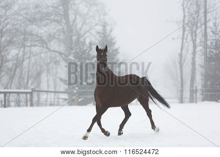 Horse Running In Winter